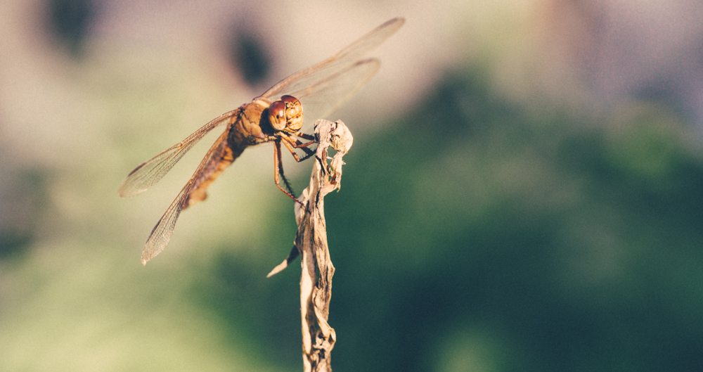 Dragonfly Photo by Lotus Carroll - Click to Buy Prints
